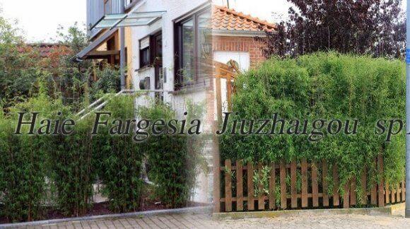 Fargesia Jiuzhaigou sp1 Incroyable des pots de taille exceptionnels