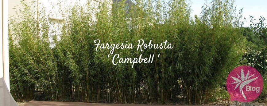 Croissance des bambous fargesia robusta campbell
